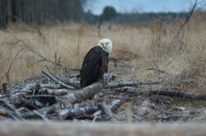 Bald Eagle at Great Cypress Swamp